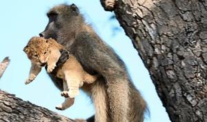 რატომ იპარავენ მაიმუნები ლომის ბოკვერებს?