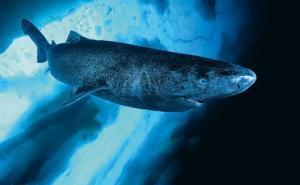 გრენლანდიური ზვიგენი: ზღვის მონსტრი, რომელიც 500 წელიწადს ცოცხლობს
