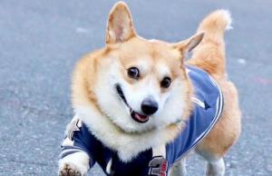ჯენი - კორგი იაპონიიდან, რომელიც ისეთ სასაცილო სახეს იღებს, რომ მისი ნახვის შემდეგ მაშინვე  უკეთესად იგრძნობთ თავს.