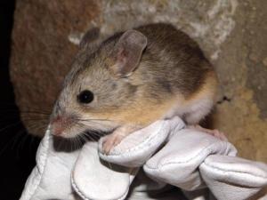 მეცნიერებმა 6700 მეტრის სიმაღლეზე თაგვი აღმოაჩინეს