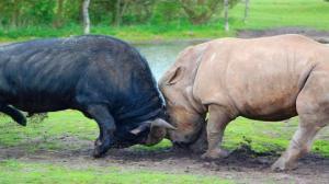 იცოდით, რომ მარტორქებს შეუძლიათ სპილოების, ბუფალოების და ასევე ლომების გამოწვევა