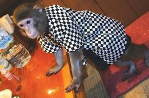 იაპონურ რესტორანში ოფიციანტებად მაიმუნები მუშაობენ