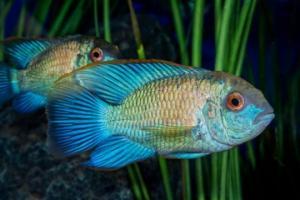 ახალი კვლევა: თურმე თევზებს სიყვარულის გამო წუხილი შეუძლიათ