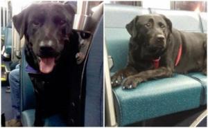 ძაღლი ყოვედღიურად ელოდება ავტობუსს,მგზავრობს და საჭირო გაჩერებაზე ჩადის