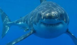 რატომ არ იძინებს და არ ჩერდება ზვიგენი?