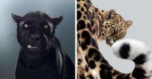ბრიტანელმა ფოტოგრაფმა დიდი კატების პორტრეტები გადაიღო ერთი წლის განმავლობაში და აჩვენა, რომ თითოეულ ცხოველს აქვს საკუთარი ხასიათი
