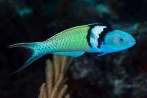 მეცნიერებმა ერთ-ერთი სახეობის თევზებზე დაკვირვებისას განსაცვიფრებელი აღმოჩენა გააკეთეს: მათ სქესის შეცვლა უსწრაფესად შეუძლიათ
