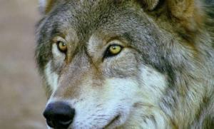ალასკაზე მეტყევე  მგელს მთელი ზამთარი კვებავდა:  4 წლის შემდეგ მგელი ოჯახთან ერთად დაბრუნდა