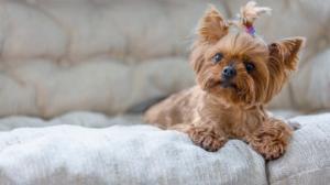 """როგორ შევარჩიოთ """"ოთახის ძაღლი"""" - სტატია ადამიანებისთვის, ვისაც პატარა ბინა და დიდი გული აქვთ"""