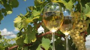 ცოლიკოურის გამორჩეული ჯიშური თვისებები მის ღვინოს უნიკალურ სასმელად აქცევს