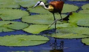 აფრიკული იაკანა - მოქნილი ფრინველი, რომელსაც წყალზე სიარულიც კი შეუძლია