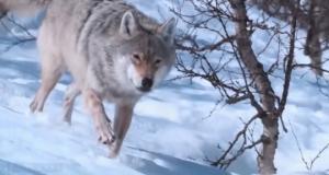 ვიდეო: მგელმა გაყინულ მდინარეში ჩავარდნილი ბავშვები გადაარჩინა