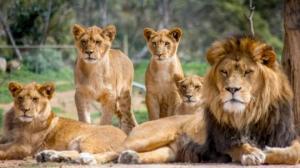 კორონავირუსით 4 ლომი დაინფიცირდა – როგორია მათი მდგომარეობა?!!