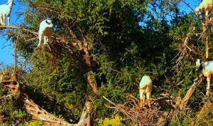 თხები, რომლებიც 8-10 მეტრი სიმაღლის ხეებზე ადიან