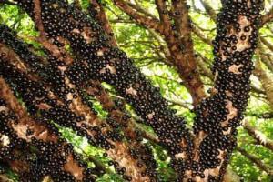3 იშვიათი  ხილი სამკურნალო თვისებებით, რომელსაც ბაზარზე ვერ იპოვით