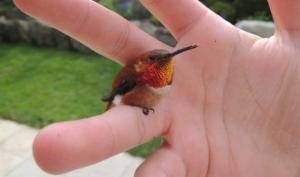 გაიცანით ყველაზე პატარა ფრინველი, რომელიც სულ რაღაც 5.7 სმ და 1.8 გრამია