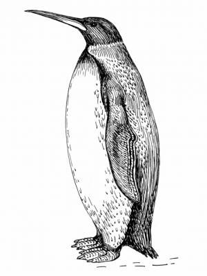 კუმიმანუ-პლანეტის  გიგანტი პინგვინი