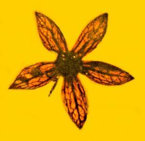 უძველესი ყვავილი, რომელიც ისტორიას ინახავს და საუკუნეებს ითვლის
