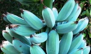 """""""ცისფერი იავა"""" - ჰავაის ბანანი, რომელიც ნაყინისა და დესერტებისათვის საუკეთესო არჩევანია"""