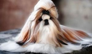 ში-ტცუ - ყველაზე მეგობრული და საყვარელი  ძაღლის ჯიში