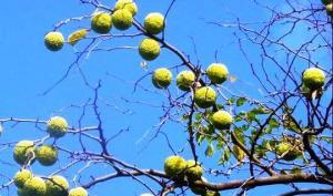მაკლიურა (ადამის ვაშლი) - უნიკალური მცენარე მრავალმხრივი სამკურნალო თვისებებით