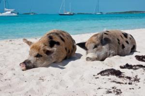 ღორების კუნძული კარიბის   ზღვაში ( + ფოტოები)