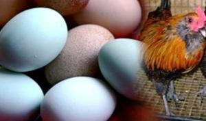ქათმის ჯიში, რომელსაც ფირუზისფერი კვერცხები აქვს