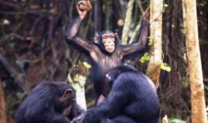 რატომ უშენენ შიმპანზეები ქვებს ხეს? -  გამაოგნებელი კვლევის შედეგები