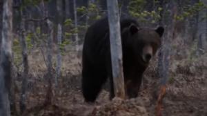 ვიდეო; დათვმა ავარიაში მოხვედრილი კაცი გადაარჩინა