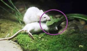 თეთრმა თაგუნამ მეგობრის მშიერი გველისაგან დახსნა გადაწყვიტა-ნახეთ, რა მოხდა შემდგომ