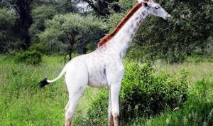 ტანზანიაში თეთრი ჟირაფის ბოჟიკი  დაიბადა და მას  სარეცხი საშუალების სახელი უწოდეს
