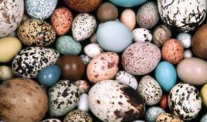 სენსაცია: პალეონტოლოგებმა დინოზავრის ცისფერი კვერცხები აღმოაჩინეს
