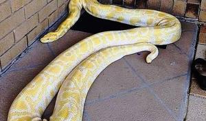 5-მეტრიანი პითონი-ალბინოსი ავსტრალიელი ქალის ოთახში შეძვრა - ნახეთ, რა მოხდა
