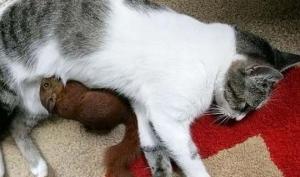კოლუმბიაში კატამ ციყვის დღნაჩვი იშვილა და საკუთარი რძით კვებავდა