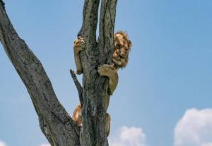 ლომს იმდენად შეეშინდა კამეჩების,რომ ერთი საათი ხეზე იჯდა