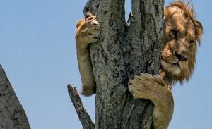 ლომი განრისხებულ კამეჩებს ძლივს გაექცა და....ხეზე აძვრა