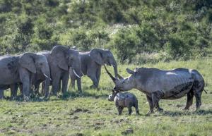 """დედა მარტორქამ სპილოების მთელ ჯგუფს, როგორც იტყვიან """"კუდით ქვა ასროლინა"""" მის შვილთან მიახლოების გამო"""
