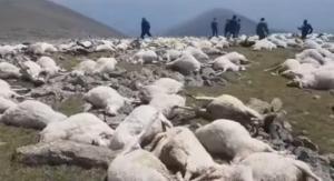 ვიდეო:ელვის დარტყმამ  500 -მდე ცხვარი მოკლა ახალქალაქში