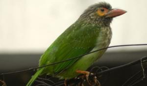 გაიცანით ეგზოტიკური ფრინველი - მწვანე ბარბეტი