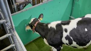 გლობალურ დათბობასთან გასამკლავებლად გერმანიაში ძროხებს ტუალეტში სიარულს ასწავლიან