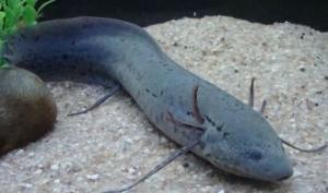 გაიცანით თევზი, რომელსაც მიწაზე სძინავს