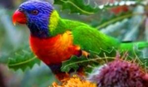 ავსტრალიელ ვეტერინარებს თუთიყუშების ნაბახუსევისაგან მკურნალობა  მოუწიათ