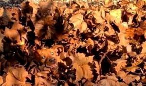ოქროსფერ ფოთლებში მხიარული ცუგა ინიღბება - 10 წამში თუ აღმოაჩენთ?!