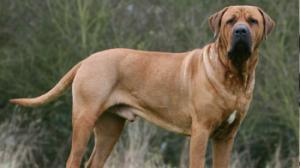 15 ყველაზე საშიში ძაღლის ჯიშები