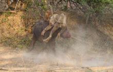 ლომის და კამეჩის სასტიკი ბრძოლის ფოტორეპორტაჟი
