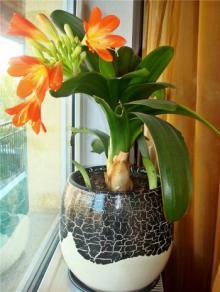 ულამაზესი მცენარე, რომელსაც ჰერცოგინიას სახელი ჰქვია