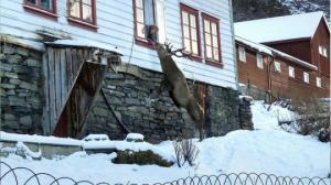 ნორვეგიაში არის ოჯახი რომელსაც ყოველდღე გარეული ირემი სტუმრობს