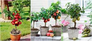 როგორ უნდა გავაშენოთ ხილის ბაღი აივანზე