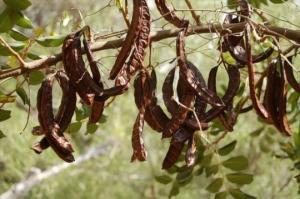კერატი - რა სასარგებლო თვისებები გააჩნია ამ პარკოსან მცენარეს?!