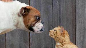 რატომ არ უყვართ ძაღლებს და კატებს ერთმანეთი?